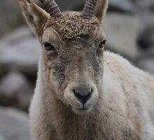 Mountain Goat by karina5