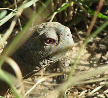 Desert Box Turtle Close-up by Ingasi