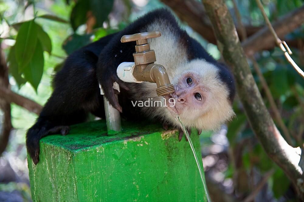 Costa Rica. Manuel Antonio NP.  White-faced capuchin monkey. by vadim19