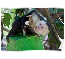 Costa Rica. Manuel Antonio NP.  White-faced capuchin monkey. Poster