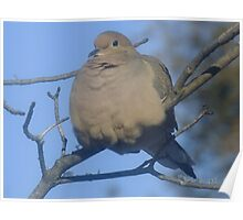 Mourning Dove Poster