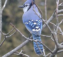 Beautiful Blue Jay by Tracy Faught