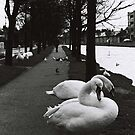 Swans at the canal by Esther  Molin