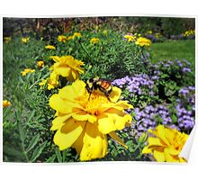 Close Up of a Bumble Bee Pollinating a Yellow Marigold Garden Plant ~ Insect Photography Poster