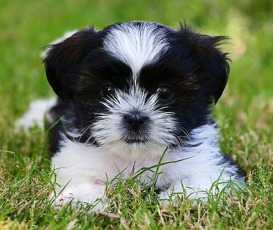 Gracie puppy by Marvin Collins