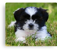 Gracie puppy Canvas Print