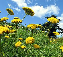 Yellow Flowers on a Grassy Hillside under Fluffy White Clouds & Blue Skies in Canada by Chantal PhotoPix