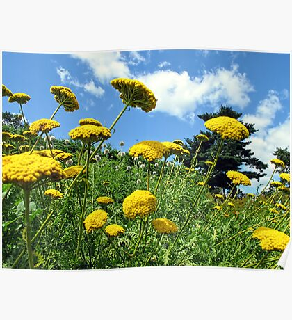Yellow Flowers on a Grassy Hillside under Fluffy White Clouds & Blue Skies in Canada Poster