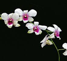 White Orchids by Floyd Hopper
