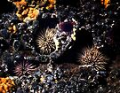 Sea Urchins by Alex Preiss