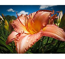 Basking in the Sunlight ~ Peach Colored Lily in a Flower Garden on a Hot Summer Day Photographic Print