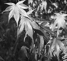 Black and White Japanese Maple Leaves by arr333