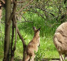 MMM! Mums busy grazing, Kangaroos on Patio Wall. by Rita Blom