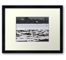 Snow buntings sailing past Snowy Momma Framed Print