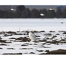 Snow buntings sailing past Snowy Momma Photographic Print