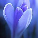 Tulip Prayer by nikongreg
