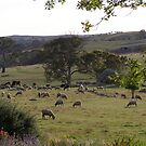 'A Sheep or Two' from our front Veranda, Mount Pleasant. S.A. by Rita Blom