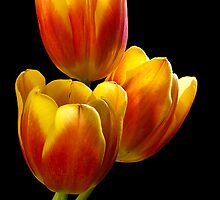 Tulip Trio - Heat Wave by Gregory J Summers