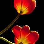 Tulips Glow by Gregory J Summers