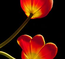 Tulips Glow by nikongreg