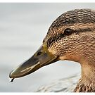 ducky by vince dwyer