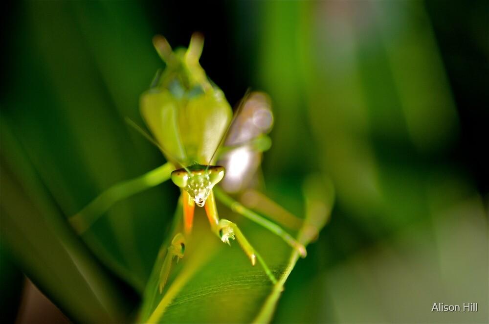 Praying Mantis 1. by Alison Hill