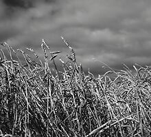 Table Cape barley feild by phillip wise