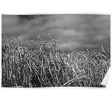 Table Cape barley feild Poster
