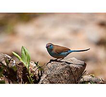 Cordon-Blue Photographic Print