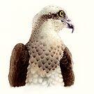 Osprey head study (Pandion haliaetus) by Laura Grogan
