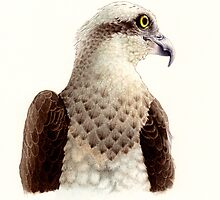 Osprey head study (Pandion haliaetus) by Laura Grogan