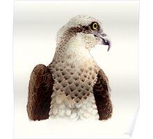 Osprey head study (Pandion haliaetus) Poster