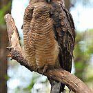 Rufous Owl. Queensland, Australia. by Ralph de Zilva