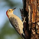 Red-bellied Woodpecker by Jim Cumming