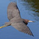 Low Flyer - Little Blue Heron by Jim Cumming