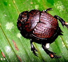 Dung Beetle in the Jungle by Laurel Talabere
