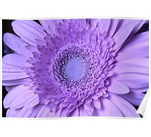 My Gerbera's Turned Purple Poster