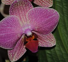 Pink Orchid in Dark Light by Shaun  Gabrielli