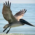 Pelican landing in the gulf  by KSKphotography