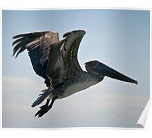 Pelican flying in the gulf of Mexico breeze Poster