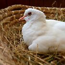 "Nothing Beats A ""Rest In A Nest!""... White Dove - NZ by AndreaEL"