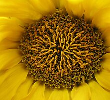 The Heart of a Sunflower by kathrynsgallery