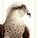 Osprey (Pandion haliaetus) card by Laura Grogan