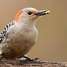 Female Red Bellied Woodpecker by Gregg Williams