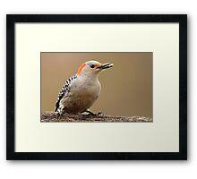 Female Red Bellied Woodpecker Framed Print