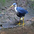 Pied Heron. Queensland, Australia. by Ralph de Zilva