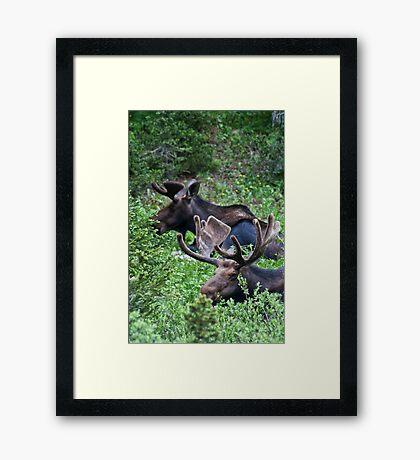 Bull Moose 2 Framed Print
