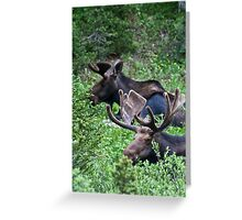 Bull Moose 2 Greeting Card