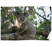 Baby Koala In Our Tree Poster