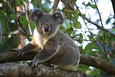 Baby Koala In Our Tree by aussiebushstick